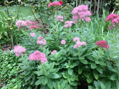 Sedum spp. has rounded flower heads similar to a hydrangea