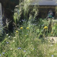 Billy buttons and spear grass