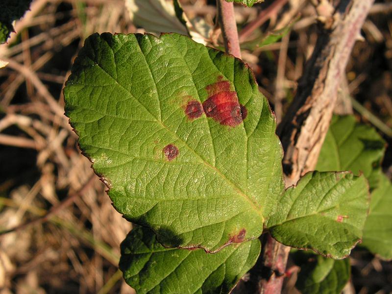 hongos-que son-eliminarlos-gardeneas-oidiorojizo