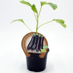 plantel-berenjena