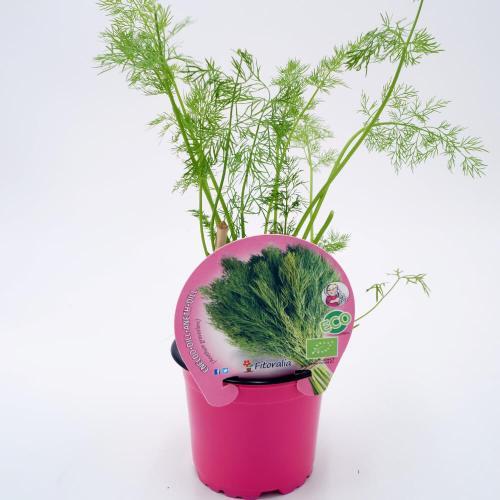 plantel-eneldo