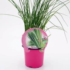 plantel-cebollino