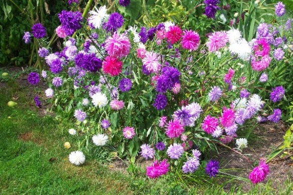 How to Grow Aster Perennial Flower Plants  Growing Asters  Aster Seeds aster  asters  flowers  seeds