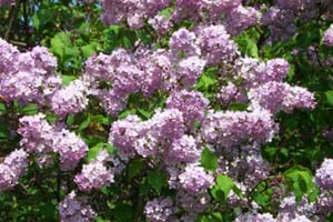 Image result for image lilacs