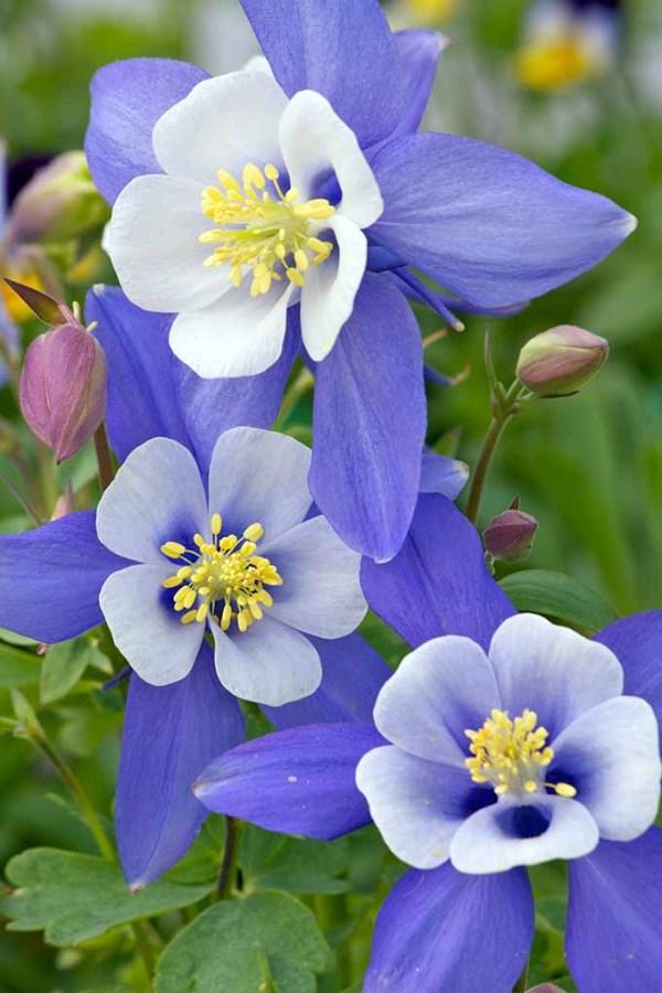 11 Native Blue Flowers for the Garden   Gardener's Path