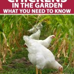 Chickens In The Garden What You Need To Know Gardener S Path