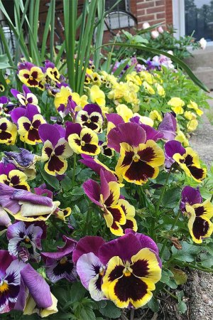 How to Grow Pansies and Violas for Multi Season Color  Gardener s Path Did you know pansies are edible flowers  We ll teach you how to grow