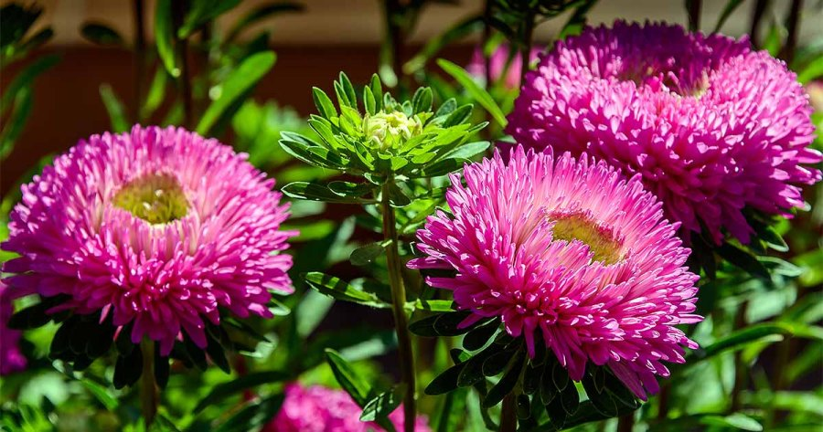 How to Grow China Aster  Callistephus chinensis    Gardener s Path