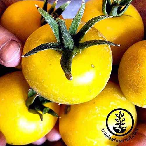 A close up of a hand holding bright yellow 'Lemon Boy' tomatoes. The tips of the stems are still attached. In the right corner of the frame is a circular logo with black text.