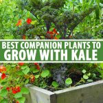 The Best Companion Plants To Grow With Kale Gardener S Path