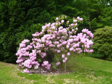Spring summer flowering shrubs uk holliddays pruning flowering shrubs the easy way gardeners tips mightylinksfo