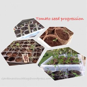 Tomato Seed Progression
