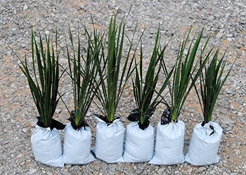 Yucca Plant - Indoor HousePlants