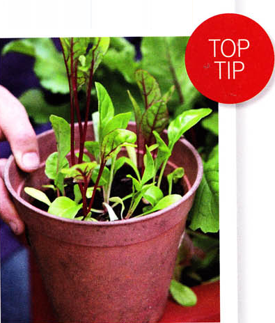 TIP Lettuce in Container