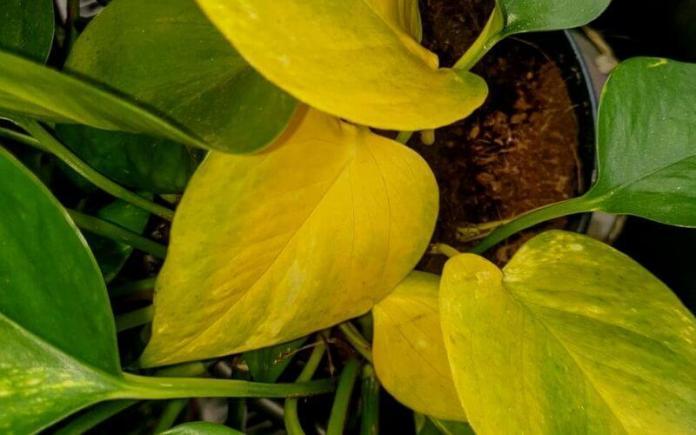 pothos yellow leaves