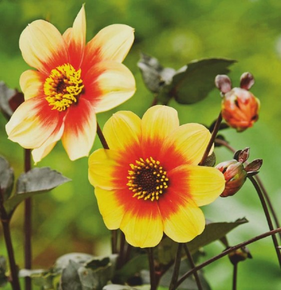 Are Dahlias Annuals Or Perennials