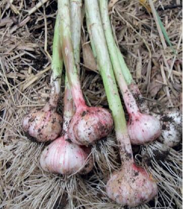 Harvested Garlic Bulbs