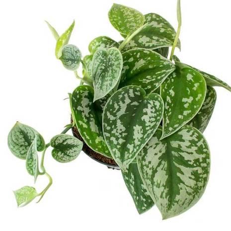 Scindapsus Pictus Plant