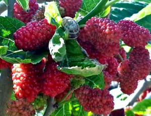 Red mulberries