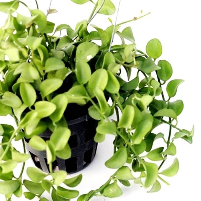 Dischidia Plant