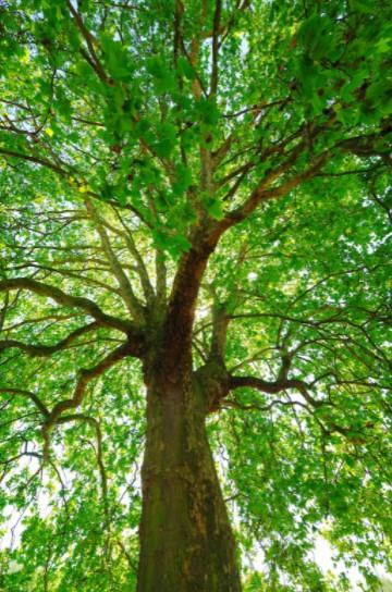 Sycamore Tree close