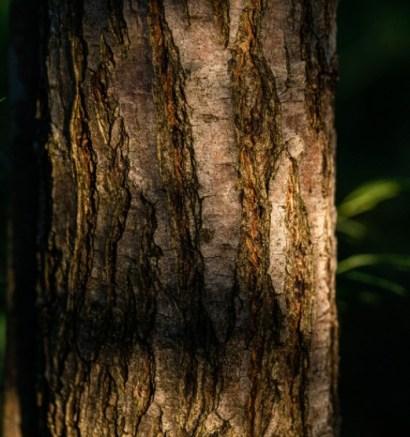 Acacia Wood Bark