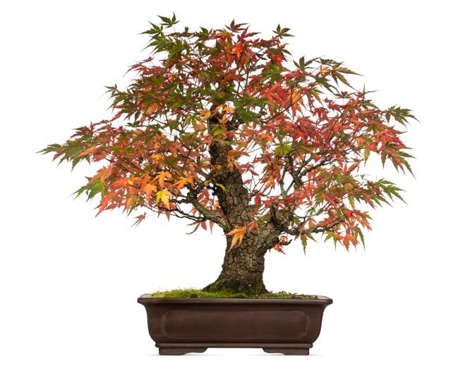 Acer japonicum bonsai