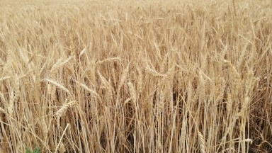 2015 Wheat Field ready for Harvest