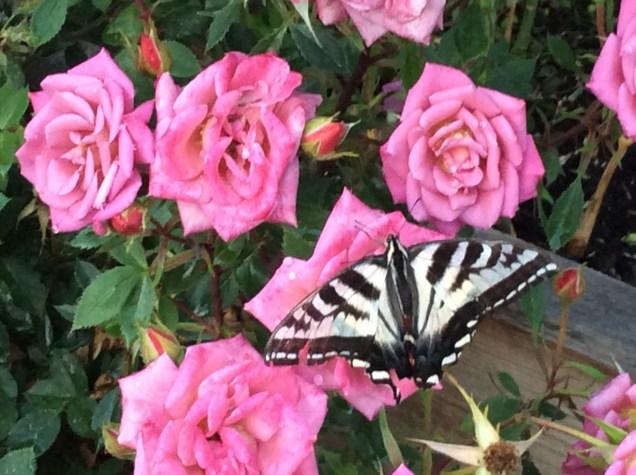 garden-2016-butterfly-on-roses