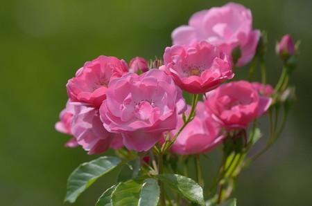 Rose-Angela