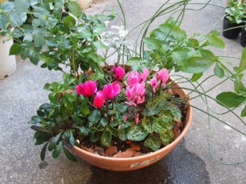 Gardencyclamen (12)