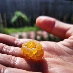 golden raspberries in hand