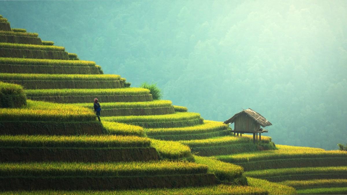 man climbing rice terraces