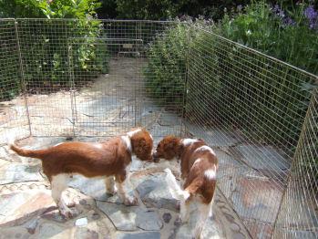 Garden Puppies Frasier Dylan 20090516 3561