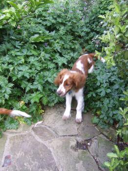 Garden Puppies Frasier Dylan 20090516 3568