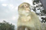 This Barbary ape tried to join me in my car