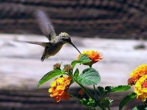 hummingbird morguefile