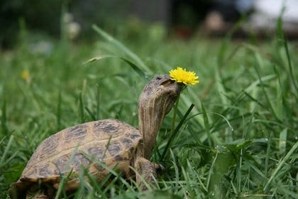 turtle eats lawn weeds