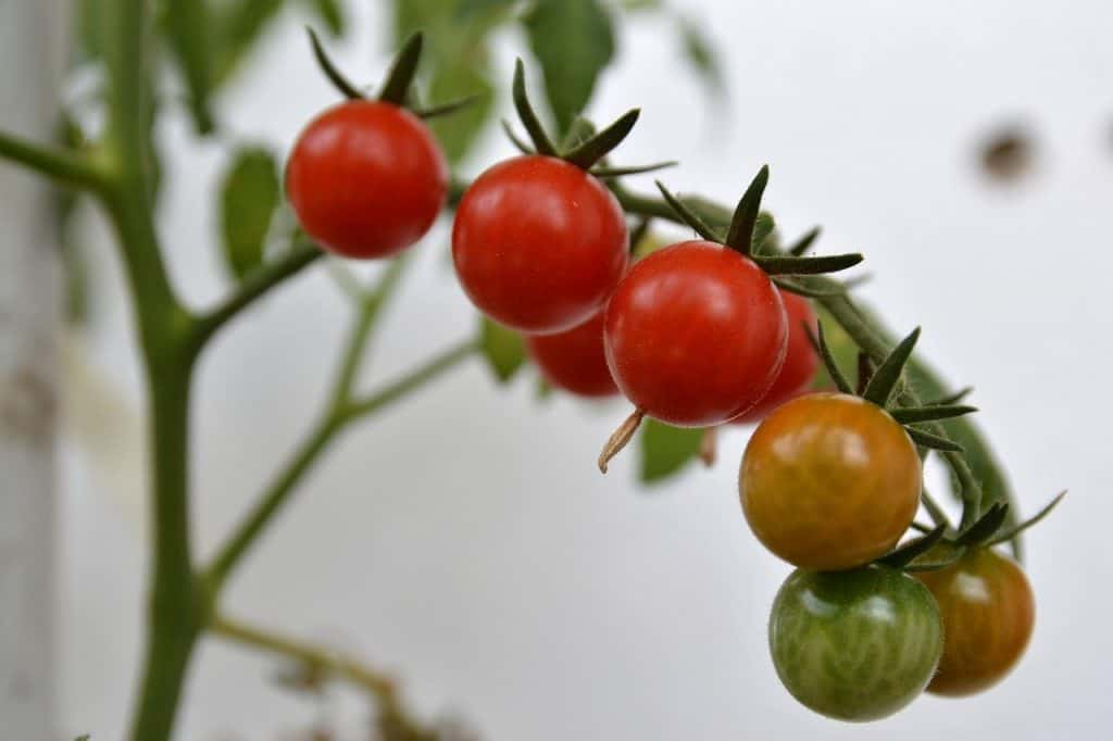 grow in pots tomatoes for containers