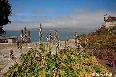 Acanthus mollis on Alcatraz