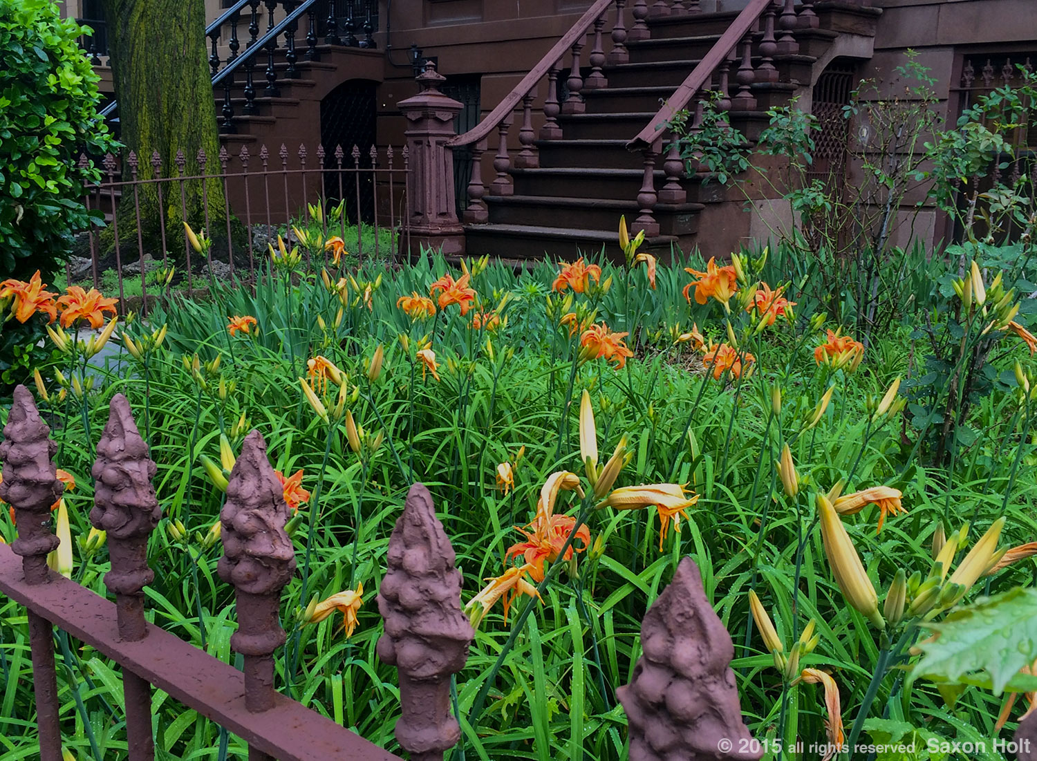 daylilies  -  Greenest block in Brooklyn