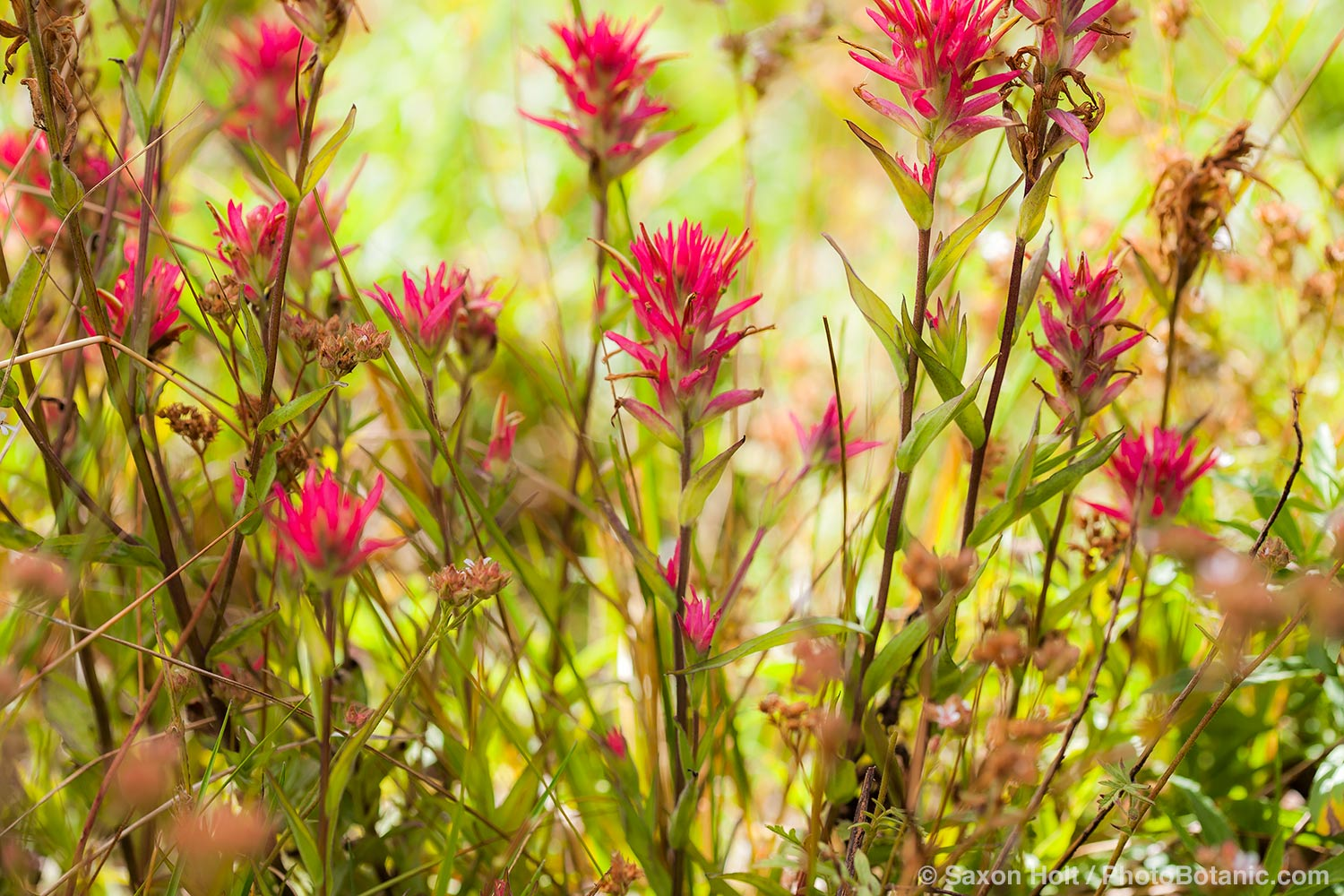 Castilleja miniata -  Great Red Paintbrush,  scarlet paintbrush, flowering wildflower, California native plant meadow