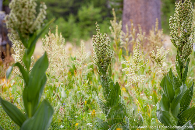 Veratrum californicum, California corn lily, California false hellebore, native perrenial in Sierra meadow