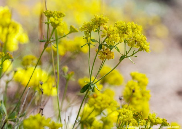 Eriogonum umbellatum - Sulpher Buckwheat ymellow flowering wildflower above Martin Meadow Eldorado National Forest
