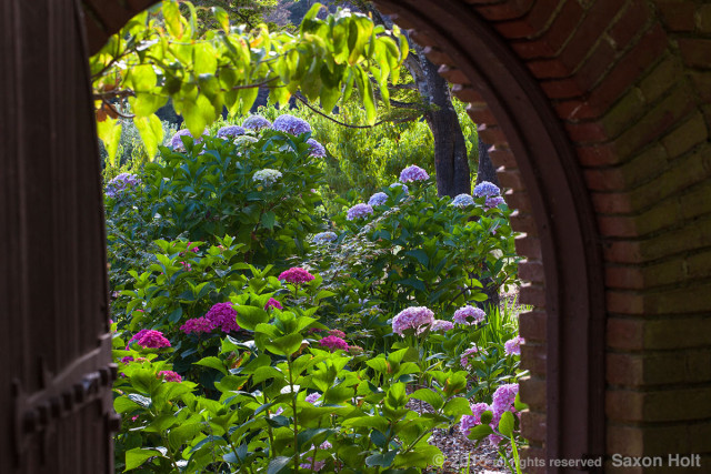 View through garden gate into summer garden with flowering Hydrangea shrubs