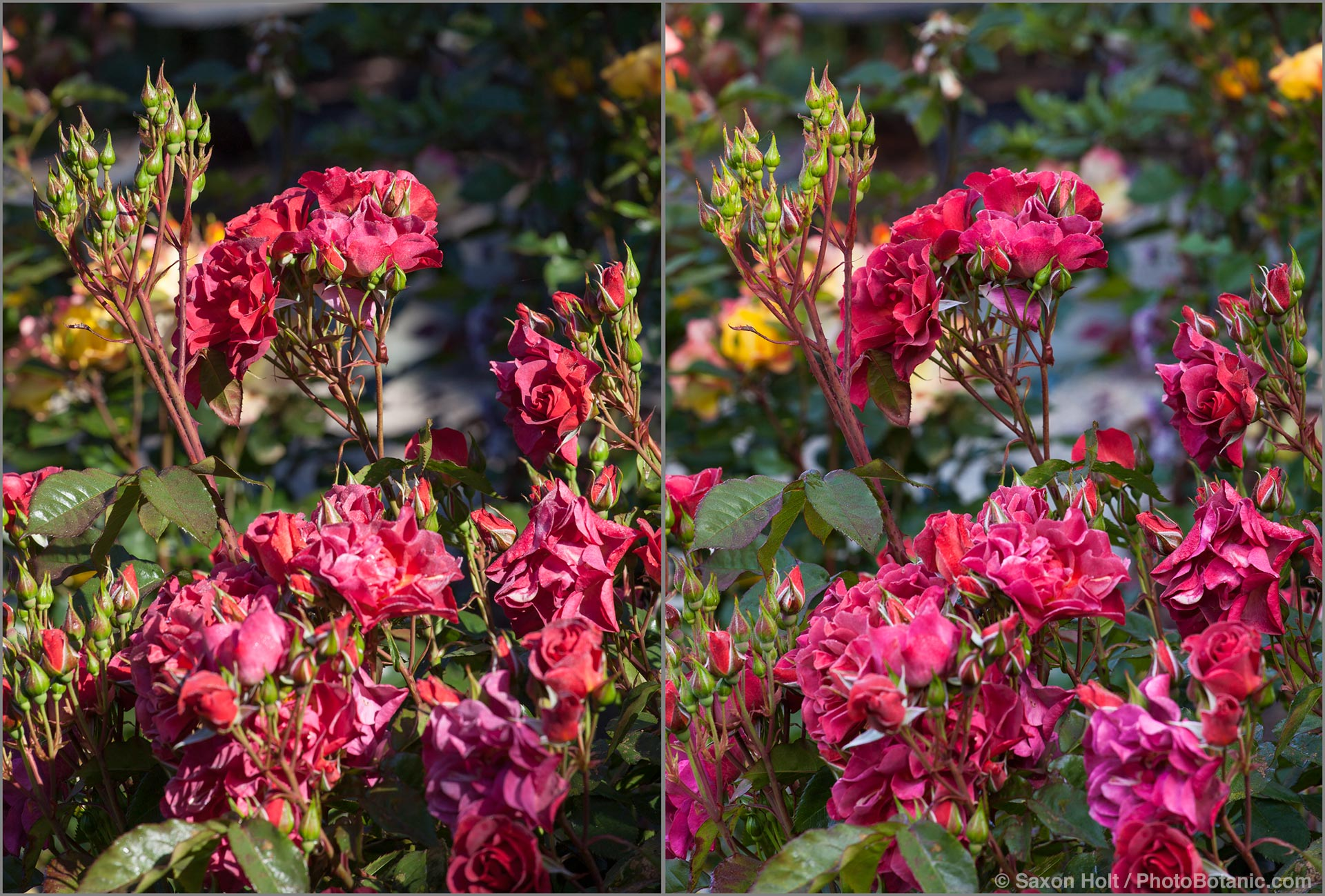 Bright sum on rose - sunlight sequence