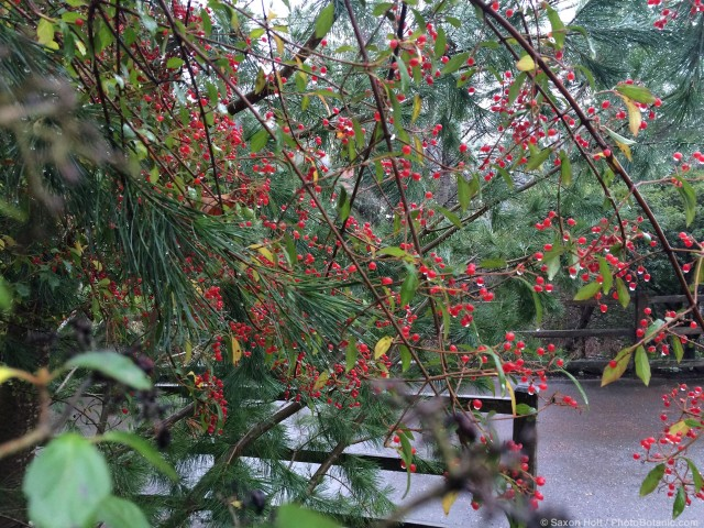 Viburnum foetidum v. ceanothoides - red winter berries in rain