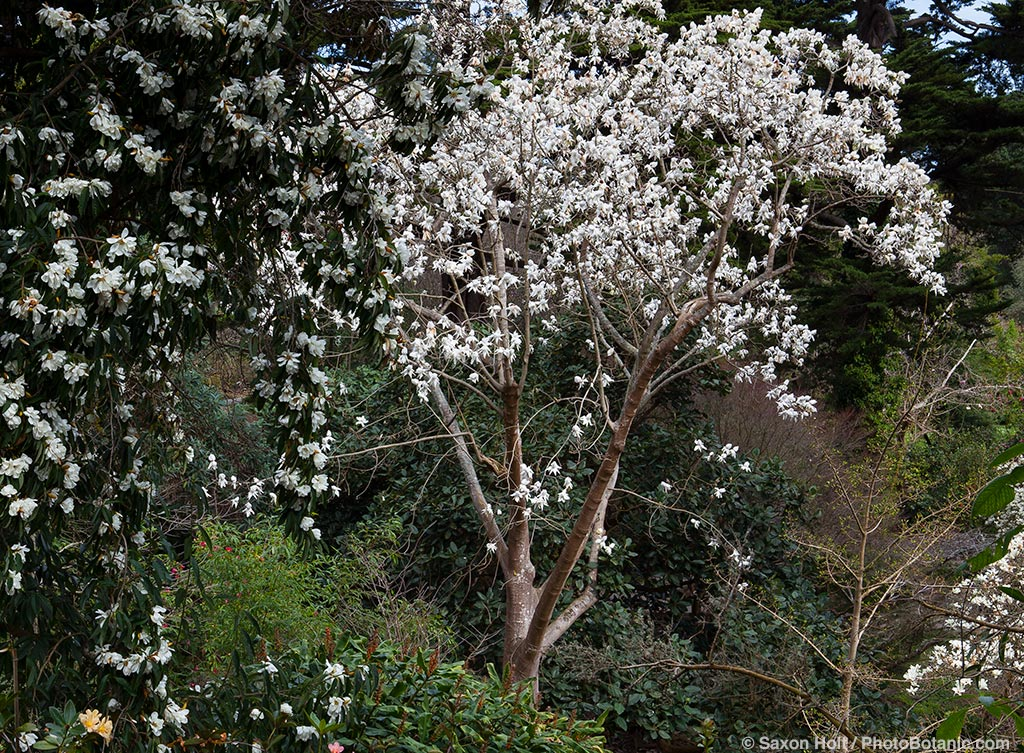 Magnolia campbellii 'Strybing White' flowering deciduous tree in San Francisco Botanical Garden with Magnolia doltsopa in foreground