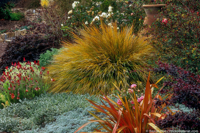 Ornamental grass Stipa arundinacea - (aka. Anemanthele lessoniana) Pheasant's Tail Grass with Stachys and Phormium in colorful drought tolerant garden