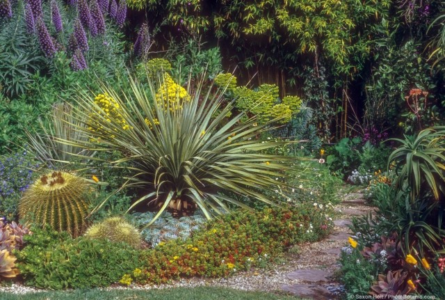 Dasylirion wheeleri (desert spoon, spoon flower, or common sotol) in succulent border backyard garden with Aeonium 'Mint Saucer' blooming yellow and Lithodora and Echinocactus (Barrel Cactus)